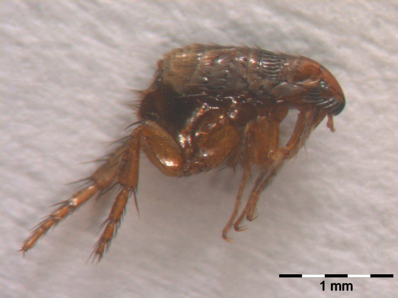 Cat flea (Ctenocephalides felis)