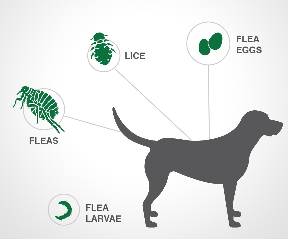 Parasites treated with Advantage II for dogs
