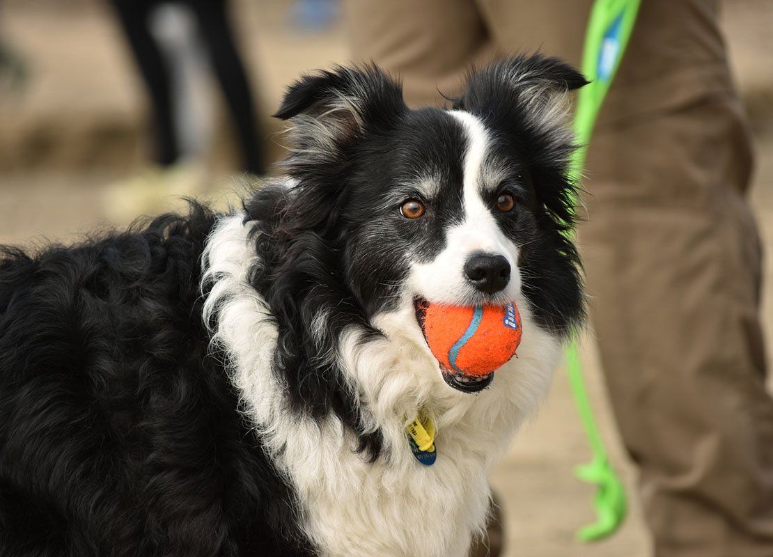 Dog bringing orange ball in its mouth inviting to throw it again