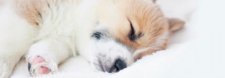 a puppy sleeps on a white blanket