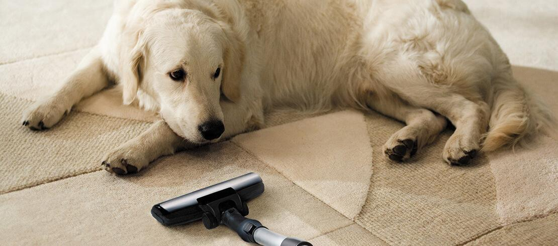 Dog watching owner vacuum floor