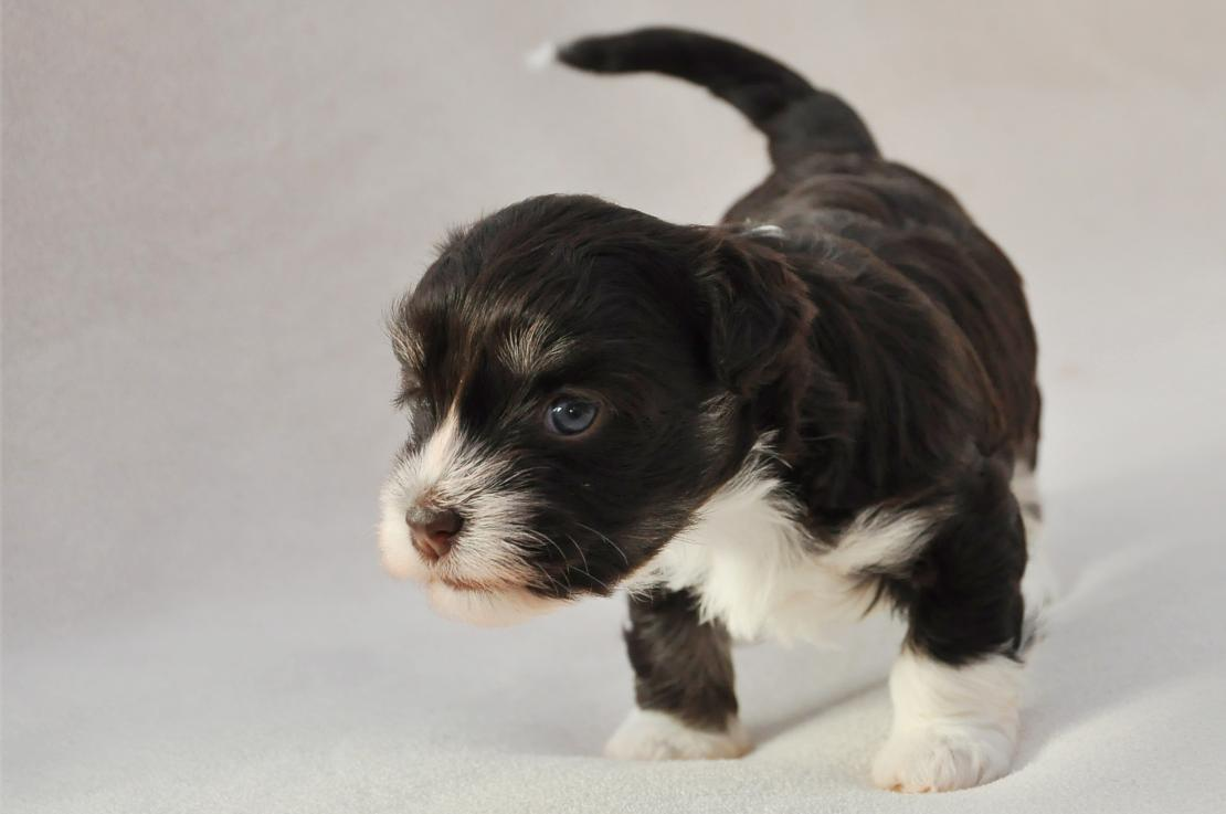 Puppy: week 2-4: can see, hear, walk and talk