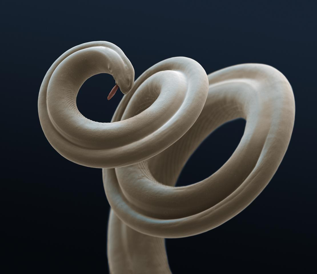 Microscopic close up of heartworm