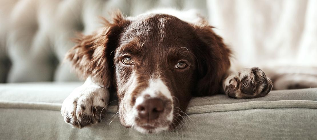 Lyme disease can cause dogs to be listless and lethargic