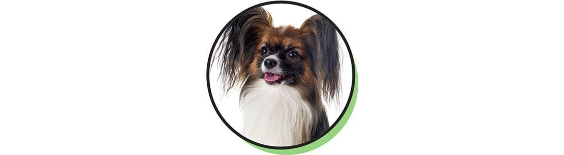 Papillion breed headshot