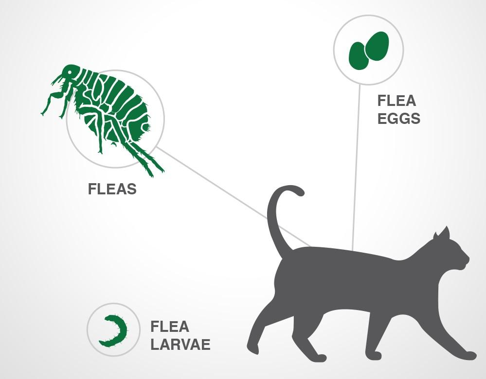 Parasites treated by Advantage II for cats