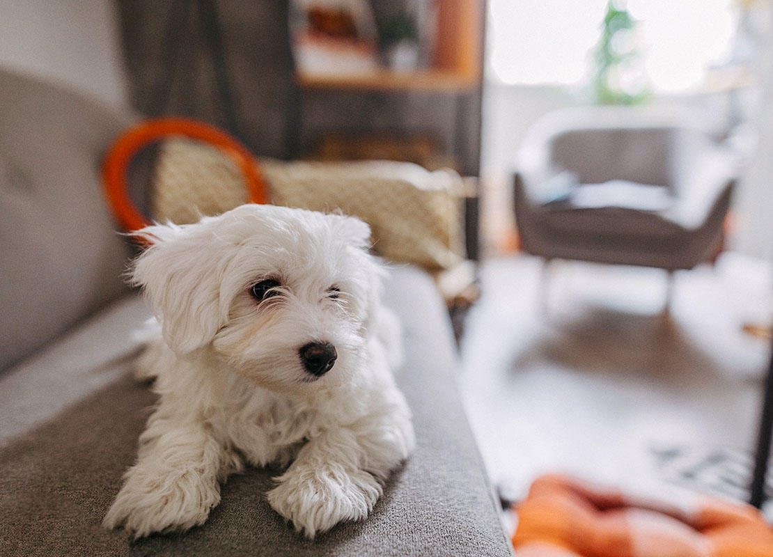 Cute Maltese dog lying on sofa