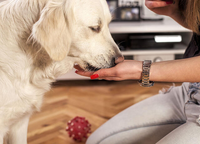 Woman's Hand Feeding Treat to her Golden Retriever