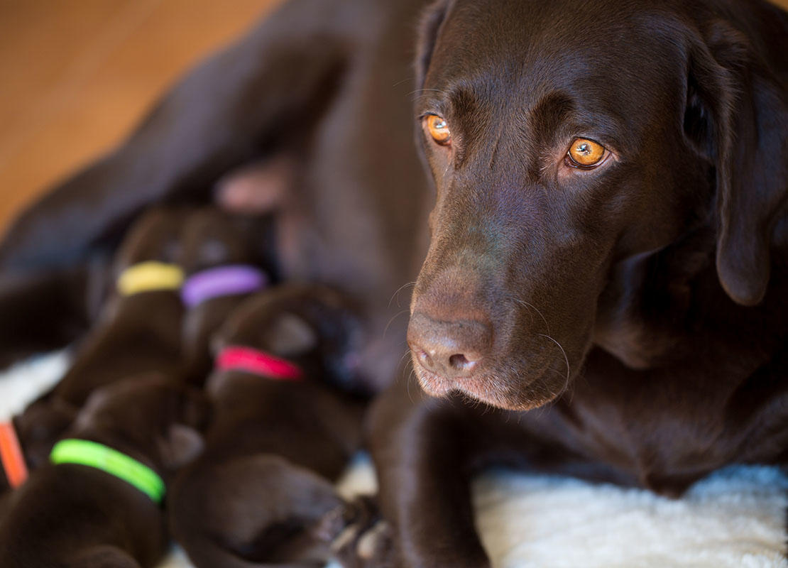 Nursing brown labrador puppies with her mother