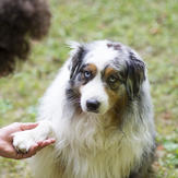 Australian Shepherd gives paw