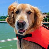 A happy golden retriever in a life jacket sitting on a boat