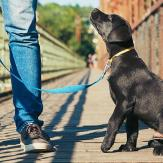 A black Labrador puppy heeling and looking up at his owner