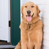 A golden retriever panting on the porch on a hot summer day