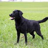 Black Labrador standing on green grass
