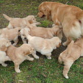 Golden Retriever in the grass with puppies