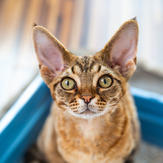 Devon Rex cat sitting in litter box