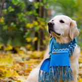 Golden retriever dog wearing a scarf sitting on a fallen yellow leaves